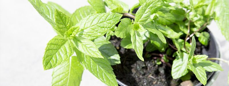 herbs-cooking-mint
